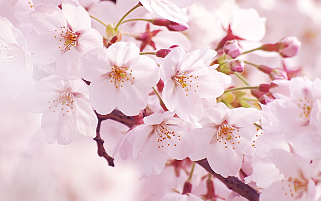 Sakura_wqxga
